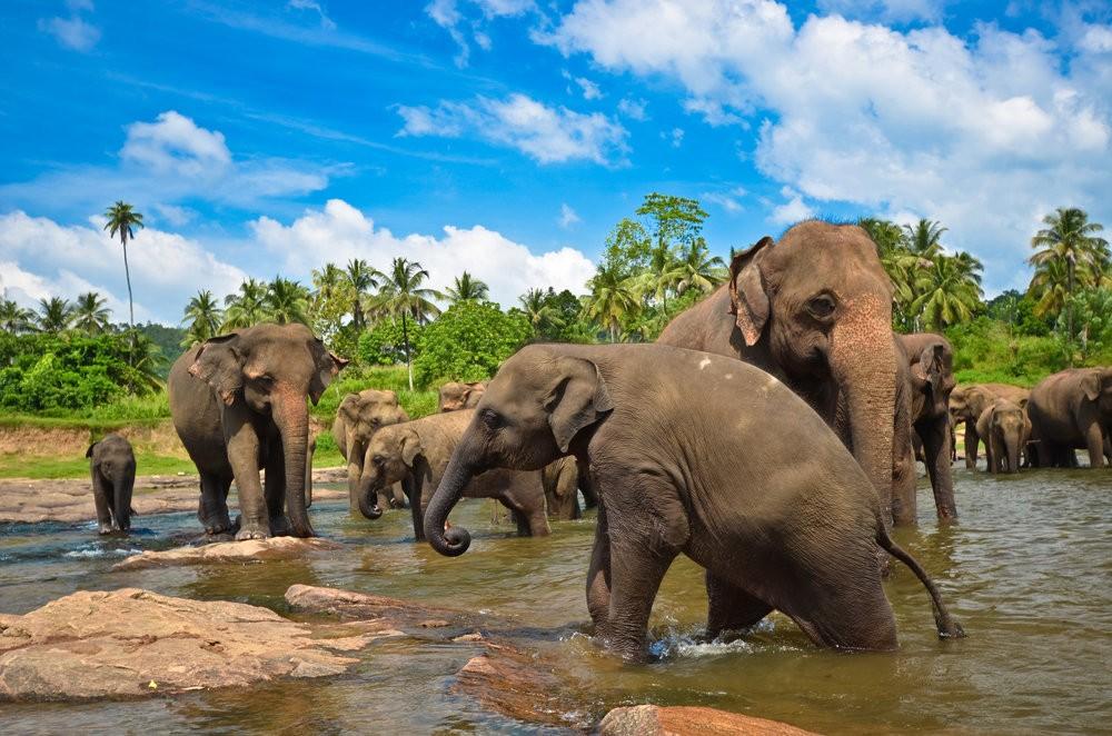 слоновий питомник пинавелла Шри ланка